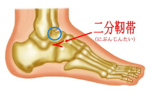 二分靭帯組織図